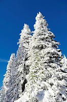 Low angle view of snow covered trees, West Yellowstone, Gallatin County, Montana, USA
