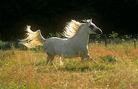 arabian horse _ galloping on meadow