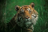 tiger _ portrait
