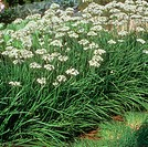 Garlic chives (thumbnail)