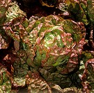 red lettuce