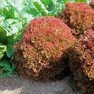 lettuce Lollo Rosso