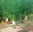 Florence Fennel / Foeniculum vulgare
