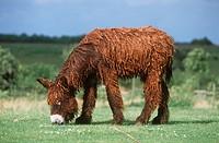 Poitou donkey _ standing _ munching