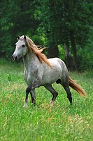 lusitano horse _ galloping on meadow