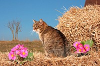 tabby cat _ sitting on bale of straw