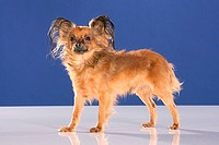 Russian Toy Terrier _ standing _ cut out