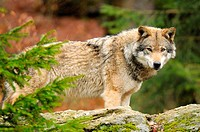european wolf _ standing on meadow / Canis lupus