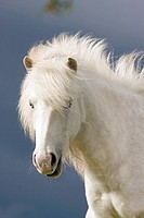 icelandic horse _ portrait