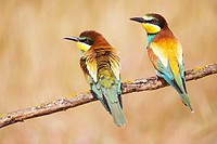European Bee Eaters (Merops apiaster)