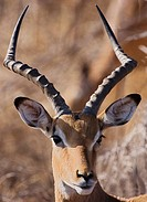 Close up of Impala