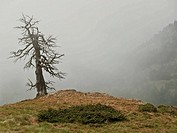 Dead tree in the mist, Cirque of Engorgs, Pyrenees Mountains. Lleida province, Catalonia, Spain