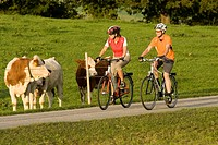 Germany, Bavaria, Oberland, Couple mountain biking, cattle in background