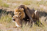 Africa, Namibia, Lion and lioness Panthera leo mating, close_up