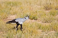 Africa, Namibia, Secretary Bird Sagittarius serpentarius in grass, side view