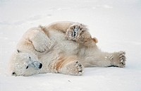 Polar bear lying on back in snow Churchill Manitoba Canada Spring