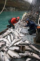 Crew of Commercial seiner load their catch of silver salmon into hold on *Sonja M* Port Valdez PWS Alaska