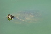 Red_eared Slider, Trachemys scripta elegans, Pseudemys scripta elegans, Red_eared Turtle