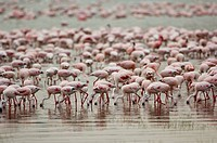 GreaterFlamingoes and Lesser Flamingoes, Lake Nakuru national park, Kenya, Phoenicopterus ruber, Phoeniconaias minor