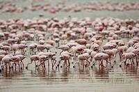 GreaterFlamingoes and Lesser Flamingoes, Lake Nakuru national park, Kenya, Phoenicopterus ruber, Phoeniconaias minor