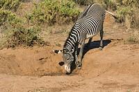 Grevy´s Zebra, Samburu national park, Kenya, Equus grevyi, waterhole