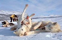 huskies _ lying in snow