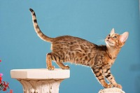 Bengal cat _ climbing on column