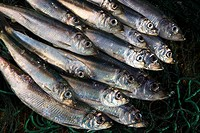 Fresh Baltic Herring