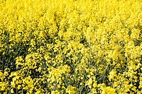 Oilseed rape in field