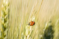 A ladybird on wheat