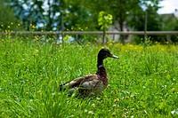 Ente auf der Wiese