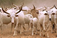 Zebu Breeding of zebus migration in Peul country, Senegal.