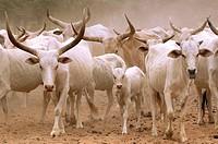 Zebu Breeding of zebus migration in Peul country, Senegal.