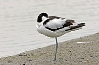 Pied Avocet Pied avocet Recurvirostra avosetta in the Somme bay in Picardy, France. Recurvirostra avosetta  Pied Avocet  Avocet  Recurvirostrid Limico...