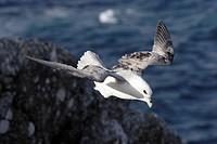 Northern fulmar Northern fulmar Fulmarus glacialis, Shetland Islands, Scotland. Fulmarus glacialis  Northern fulmar  Fulmar  Procellariid  Seabird  Bi...