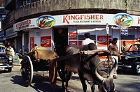 Bullock cart at Kingfisher shop , Bombay Mumbai , Maharashtra , India
