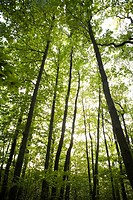 Sunlight shining down through forest canopy, low angle view (thumbnail)