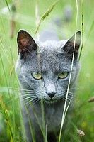 Cat walking through grass, staring at camera