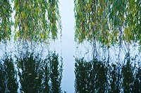 Weeping willow hanging over water with reflection in water