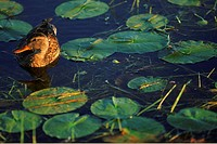 Female mallard among lily pads
