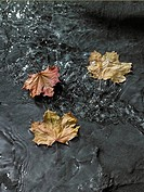 Maple leaves floating on water