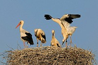 White storks on nest, Ciconia ciconia, Juvenile, Young, Summer, Germany