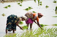 Two women planting rice plants in a paddy field, Tamil Nadu, India