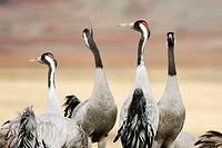 Common Cranes (Grus grus). Gallocanta, Zaragoza province, Aragon, Spain