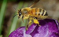 Covered in pollen, a honey bee takes flight over a purple crocus, Pennsylvania, USA.