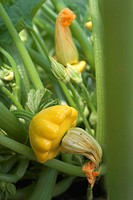 Patty pan squashes on the plant