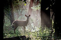 A white_tailed doe deer is caught in a shaft of early morning mist and light, Pennsylvania, USA