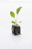 still life of kohlrabi seedling