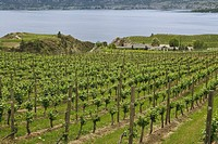 Vineyards on the Naramata Bench in the Okanagan, BC