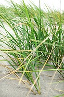 Grass on a sand dune